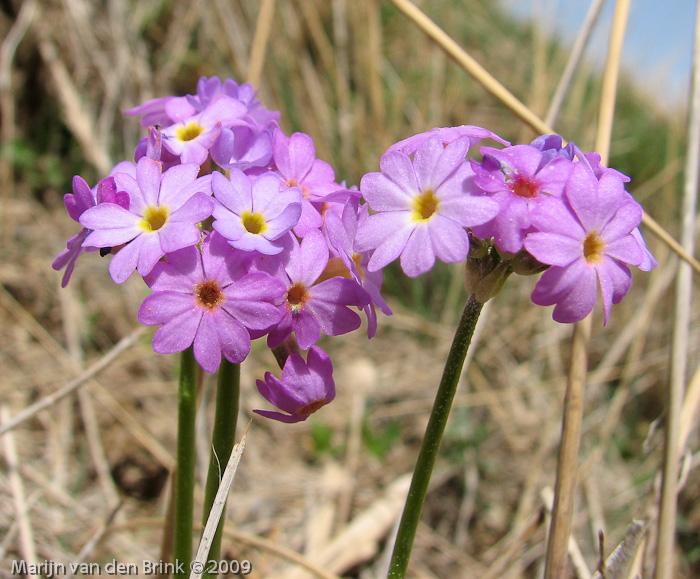 داروی گیاهی توتیا auriculata پامچال جویباری  پامچال طناز